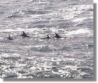 les dauphins