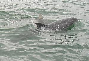 Dolphins in the estuary